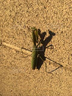 地上で昆虫、カマキリ発見の写真・画像素材[895597]