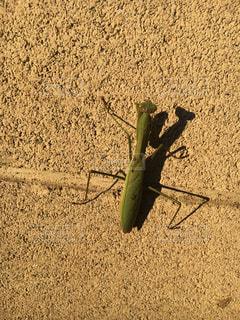 地上で昆虫、カマキリ発見の写真・画像素材[895599]