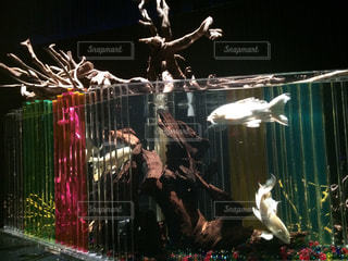 熱帯魚の写真・画像素材[409269]