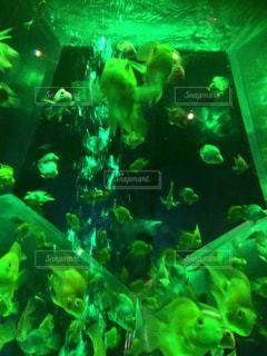 魚の写真・画像素材[418082]