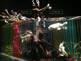 魚の写真・画像素材[418093]