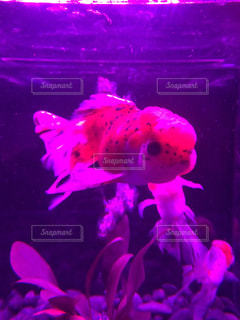 金魚の写真・画像素材[418094]