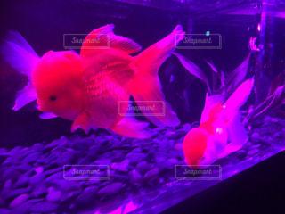 魚の写真・画像素材[418097]