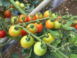 トマトの写真・画像素材[655872]