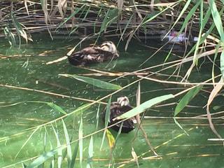 水の中を泳ぐ鳥の写真・画像素材[715114]