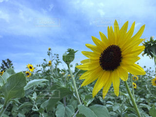 黄色の花の写真・画像素材[715404]