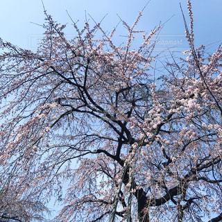 桜の写真・画像素材[405042]