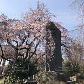 桜の写真・画像素材[405044]