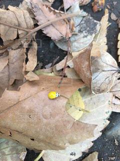 てんとう虫の写真・画像素材[405990]