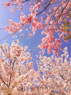 桜の写真・画像素材[443290]
