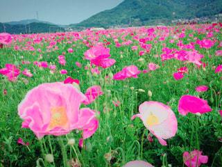 ピンクの花は草の中に立っています。 - No.750860