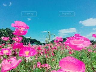 ピンクの花の写真・画像素材[750862]