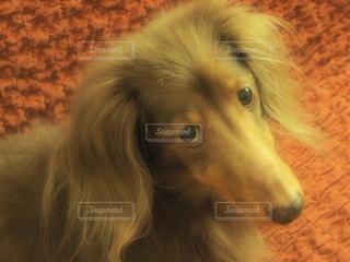 近くに犬のアップの写真・画像素材[960377]