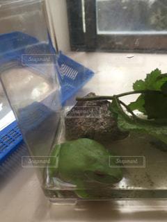 カエルの写真・画像素材[408494]