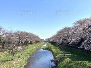 調布市の野川沿いの桜並木の写真・画像素材[4439884]