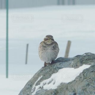 雪の中のツグミの写真・画像素材[1099743]