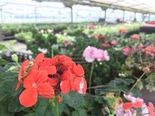 赤い花の写真・画像素材[1164782]