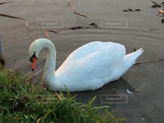 白鳥の湖の写真・画像素材[427761]