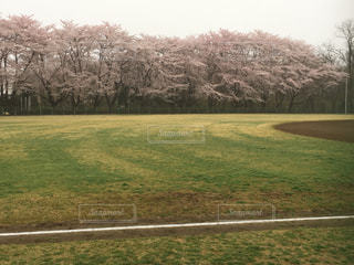 桜の写真・画像素材[423361]