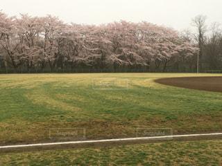 桜の写真・画像素材[423362]