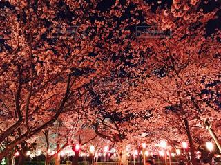 桜の写真・画像素材[430772]