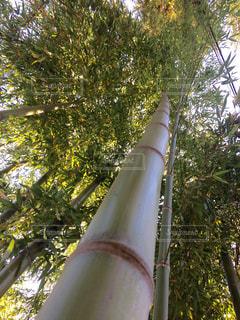竹の写真・画像素材[411234]