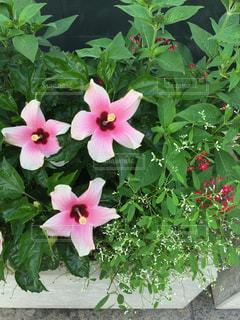 植物にピンクの花の写真・画像素材[761594]