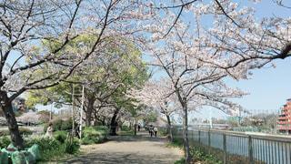 桜満開の写真・画像素材[2614447]