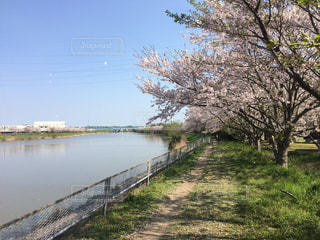 No.432174 桜