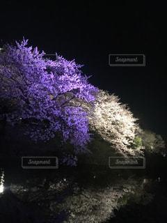 No.431627 桜
