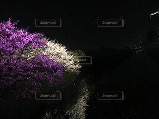 桜の写真・画像素材[431628]