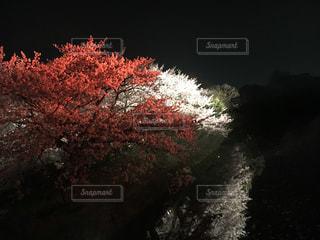 桜の写真・画像素材[431631]