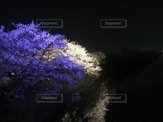 桜の写真・画像素材[431637]