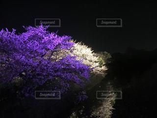 桜の写真・画像素材[431638]