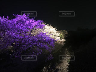 No.431639 桜