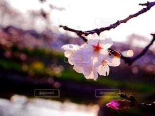 春 - No.412997