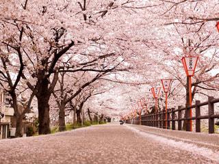 桜の写真・画像素材[412998]