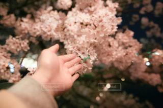 桜の写真・画像素材[425544]