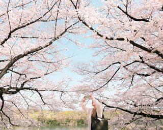 桜並木の写真・画像素材[1356867]