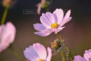 近くの花のアップの写真・画像素材[788471]