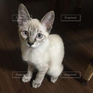 木製の床の上に座っている猫の写真・画像素材[1634160]