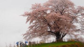 桜の写真・画像素材[415813]
