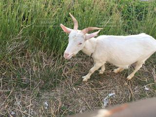 芝生のフィールドで横になっているヤギの写真・画像素材[1001239]