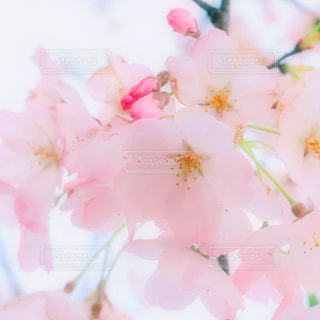 桜の写真・画像素材[1081540]