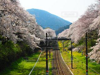 桜のトンネルの写真・画像素材[1980086]