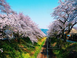 桜と共に続く線路の写真・画像素材[1980097]