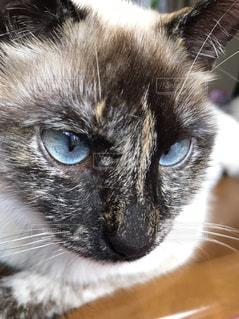 #猫  #シャム  #シャム猫  #にらみ顔  #睨み顔の写真・画像素材[423343]