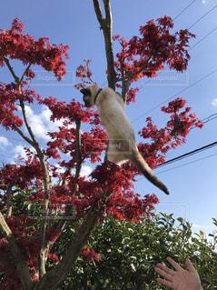 #猫 #紅葉  #青空 #木登り猫の写真・画像素材[451085]