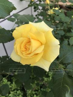#バラの写真・画像素材[474494]