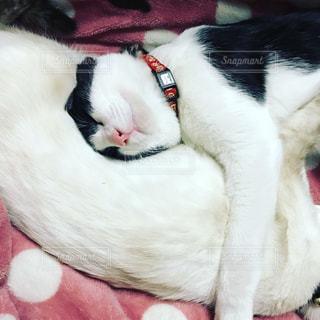 ベッドの上で横になっている白黒猫の写真・画像素材[818112]